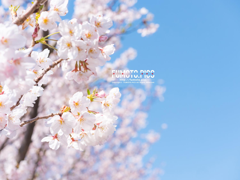 潮風ふれあい公園の桜